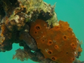 Fire sponge: a painful encounter (note the similarity with a cystic kidney)